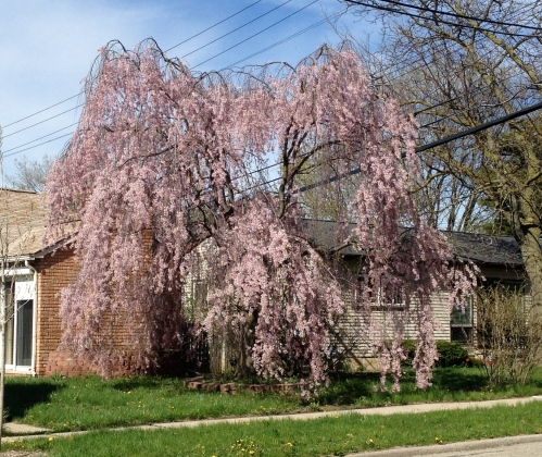 Spring blooming.  Be this tree...