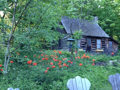 POPPIES AT MERTHA'S CABIN